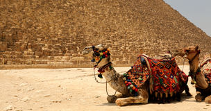 The Great pyramid with camel Royalty Free Stock Photography