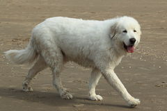 Great pyreees. The great pyrenees strolling in the sand beach Royalty Free Stock Photos