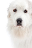 Great Pyrenees Royalty Free Stock Image