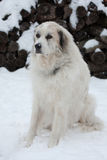 Great Pyrenees Stock Photos