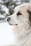 Great Pyrenees Royalty Free Stock Photo