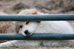 Great Pyrenees Royalty Free Stock Photography