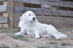 Great Pyrenees Stock Photo
