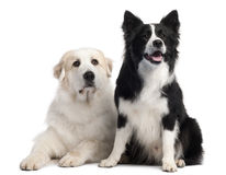 Great Pyrenees, 6 years old, and Border Collie Stock Photo