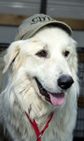 Great Pyrenees with ball cap on his head Royalty Free Stock Photography