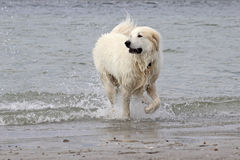 Great Pyrenees at the Beach. A Great Pyrenees dog splashing in the ocean at the beach Royalty Free Stock Photos