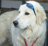 Great Pyrenees with blue sunglasses on head Stock Photos