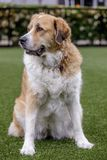 Great Pyrenees crossed with a Greater Swiss Mountain Dog female sitting. Cross breed dog sitting and looking away in an off-leash dog park in Northern stock photos