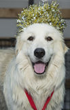 Great Pyrenees with crown of gold tinsel Stock Photography