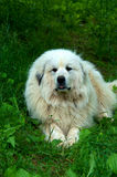 Great Pyrenees Dog Royalty Free Stock Photography