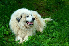 Great Pyrenees Dog Stock Image