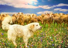 Great Pyrenees Dog and group of sheep on a colorful multicolored field of flowers in the sun. stock images