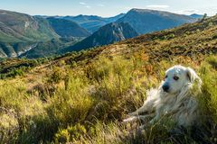 Great Pyrenees dog in the mountains. Great Pyrenees dog lying in the grass in the mountains Stock Image
