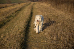 Great Pyrenees Dog. Morning run with my happy Great Pyrenees Dog in this winter morning Royalty Free Stock Image