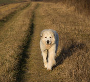 Great Pyrenees Dog. Morning run with my happy Great Pyrenees Dog in this winter morning Royalty Free Stock Photography
