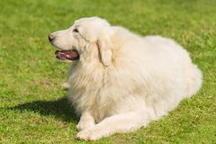 Great Pyrenees dog in the park. Closeup photo royalty free stock image
