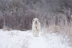 Great pyrenees dog. Portrait Royalty Free Stock Photography