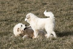 Great Pyrenees dogs playing Royalty Free Stock Image