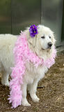Great Pyrenees with flower & feather boa. Stock Images