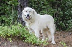 Great Pyrenees Livestock Guard Dog. Fluffy white Great Pyrenees Livestock Guard Dog. Humane Society animal shelter adoption photography. Walton County Animal stock images