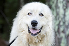 Great Pyrenees Livestock Guard Dog. Fluffy white Great Pyrenees Livestock Guard Dog. Humane Society animal shelter adoption photography. Walton County Animal Royalty Free Stock Images
