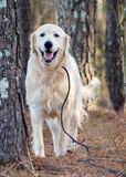 Great Pyrenees Livestock Guardian Dog. White Great Pyrenees, Pyrenean Mountain Dog, Kuvasz, Golden Retriever dog, Walton County Animal Control, humane society Stock Photography