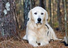 Great Pyrenees Livestock Guardian Dog. White Great Pyrenees, Pyrenean Mountain Dog, Kuvasz, Golden Retriever dog, Walton County Animal Control, humane society Stock Images
