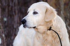 Great Pyrenees Livestock Guardian Dog Stock Photography