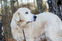 Great Pyrenees Livestock Guardian Dog Royalty Free Stock Photography