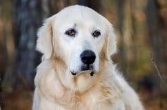 Great Pyrenees Livestock Guardian Dog Stock Images