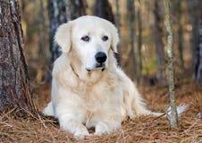 Great Pyrenees Livestock Guardian Dog Royalty Free Stock Photo