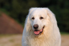 Great Pyrenees looking Stock Image