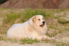 Great Pyrenees Stock Photography