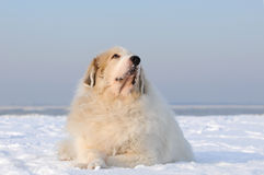 Great Pyrenees Stock Images