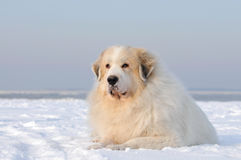 Great Pyrenees Royalty Free Stock Photos