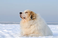 Great Pyrenees Stock Image