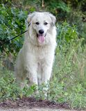 Great Pyrenees Outdoor Adoption Photo. White Great Pyrenees Dog Outdoors on leash Stock Image