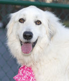 Great Pyrenees with pink scarf. Stock Images