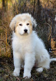 Great Pyrenees Puppy Stock Photos