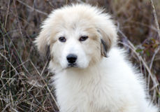 Great Pyrenees Puppy. White Great Pyrenees livestock guard dog puppy, outdoor pet adoption photo, Walton County Georgia Humane Society Royalty Free Stock Photo