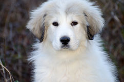Great Pyrenees Puppy Stock Photography