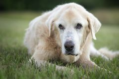 Great Pyrenees at Rest. Beautiful portrait of a livestock guardian dog, a Great Pyrenees, at rest stock photography