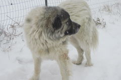 Great Pyrenees in the snow stock photo