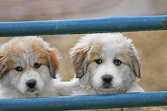 Great Pyrenees Royalty Free Stock Images
