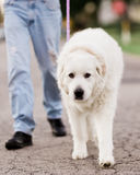 Great Pyrenees on a Walk. A Great Pyrenees dog walking on a loose leash with his owner down the street Royalty Free Stock Images