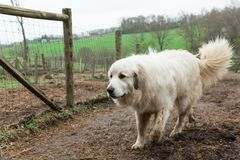 Great Pyrenees walking on farm Stock Photo