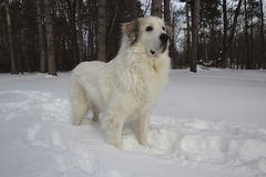 Great Pyrenees in Winter Stock Image