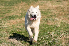 Great pyreneese Royalty Free Stock Photos