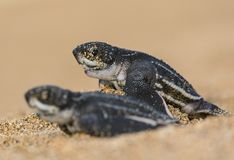 The great race, two baby sea turtle races to the ocean. stock images