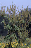 Great Ragweed 33152 Royalty Free Stock Photography